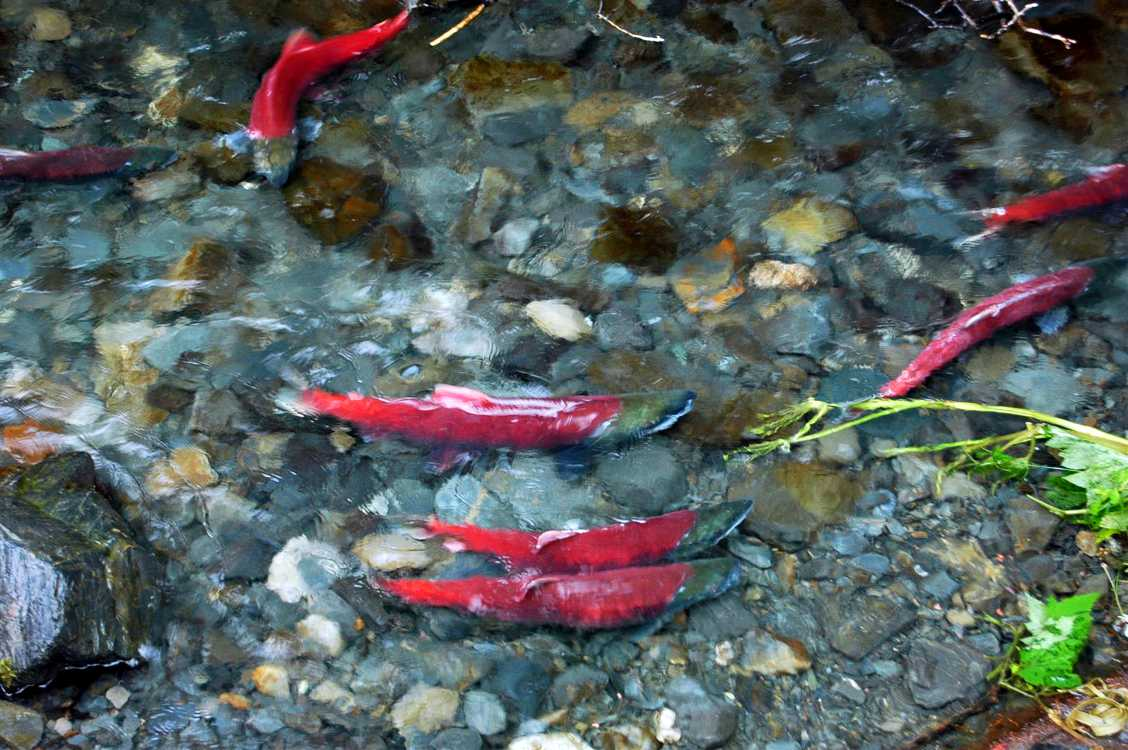 Salmon swimming in a stream that feeds a glacial Alaskan lake.
