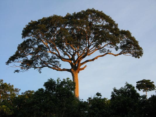 Trees in Panguana, in the Amazon Rainforest
