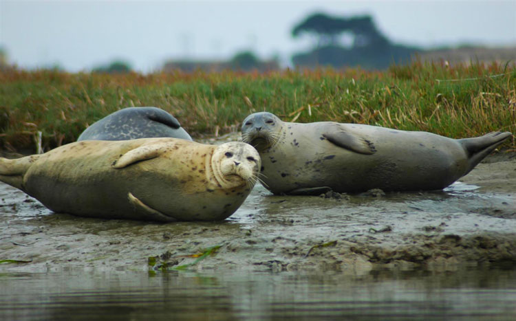 Seals at Elkhorn Slough on Monterey Bay